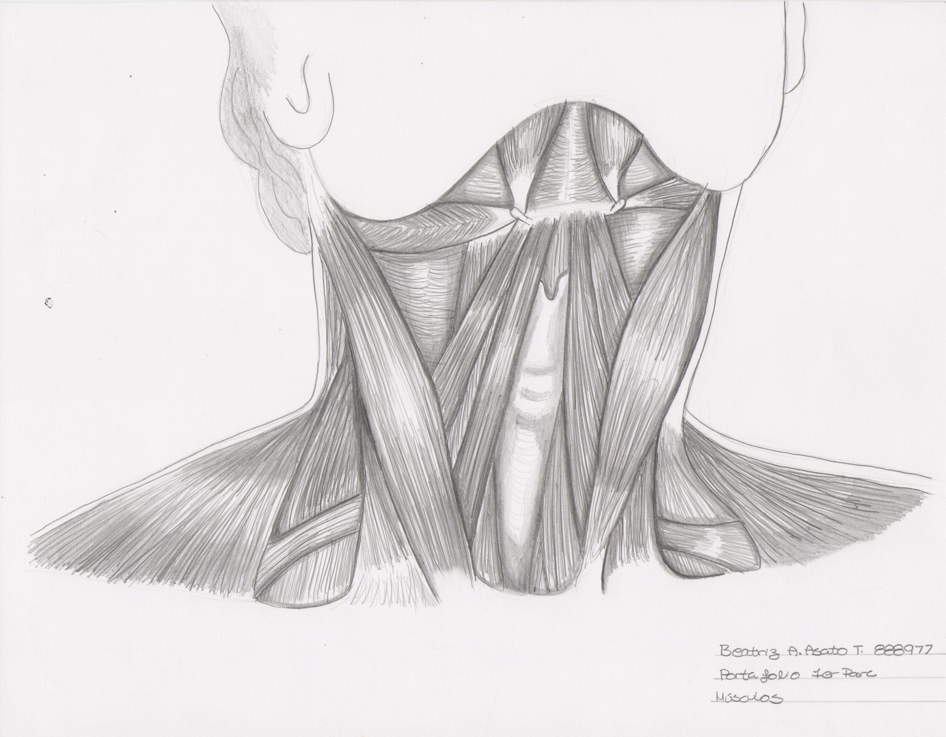 Fantástico Diagrama De Los Músculos En El Cuello Inspiración ...